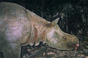 Ein Jungtier lösst eine Fotofalle aus im Ujung-Kulon-Nationalpark