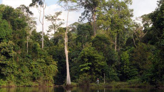 Obwohl der Harapan-Regenwald in den letzten Jahrzehnten selektiv durchforstet wurde, wachsen hier immer noch große Urwaldbäume
