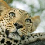 Weltkatzentag: Leopard, Tiger und Co. weiter vom Aussterben bedroht