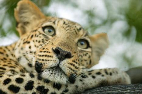 Afrikanischer Leopard liegt auf einem Baum Foto: Thomas Stephan / WWF Quelle: reisenews-online.de