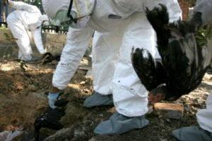 Zuständige Beamte töten in Banda Aceh 50 Hühner auf verdacht, nach Ausbruch der Vogelgrippe. Foto: thejakartapost.com