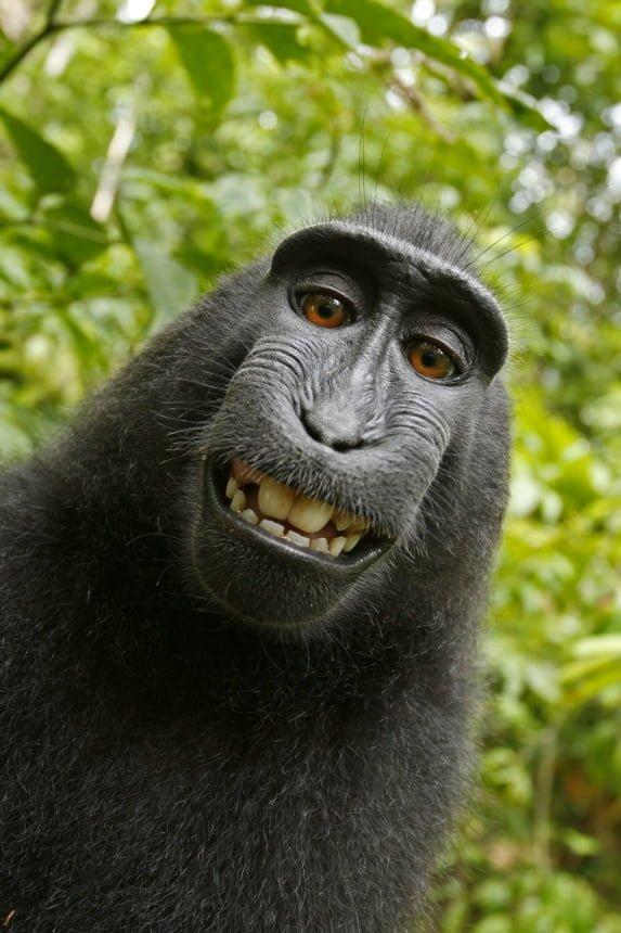 Der Schopfmakak grinst schelmisch in die Kamera, während er sich selbst fotografiert. (© dapd) Fotoquelle: sueddeutsche.d