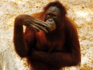 Tori, ein 5-jähriges Männchen, qualmt eine nach der anderen (sda) Fotoquelle: blick.ch