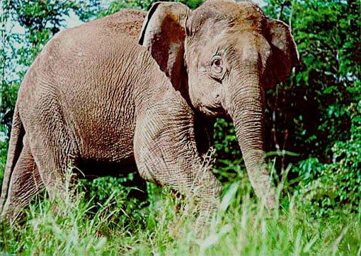 Zwergelefant aus Borneo Foto: Priority for Conservation. PLoS