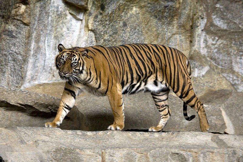 Sumatra-Tiger ist vom Aussterben bedroht Foto: Captain Herbert
