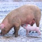 In Indonesien soll das Hausschwein ausgerottet werden