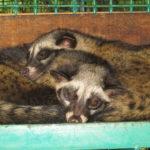"""Die Produzenten des teuersten Kaffee der Welt """"Kopi Luwak""""- Zwei Schleichkatzen"""