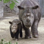 Neue Population, des Sumatra Nashorn entdeckt