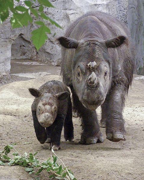 Sumatra Nashorn - Munter mit Jungtier(Flickr)