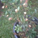 Unser Mandarinenbäumchen