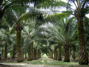 Palmemölplantage Foto: Craig / Wikipedia