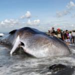 In Bali wurde ein riesiger Pottwal an den Strand angespült