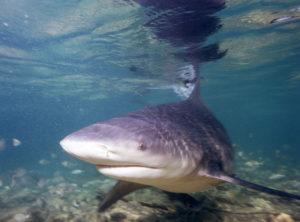 Bullenhai Foto: Albert Kok / Wikipedia