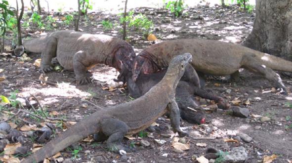 Komodo-Waran beißt Tourist / Foto Wikipedia, Achmad Ariefiandy