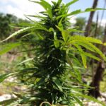 Cannabis für schwer kranke Frau