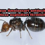 Neue Ameisenart opfert sich spektakulär
