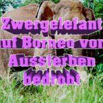 Zwergelefanten auf Borneo vergiftet
