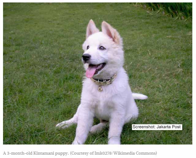 Indonesien hat ihre eigene Hunderasse / Screenshot: Jakarta Post
